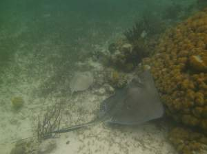 Sting ray on a reef