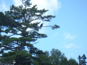 One of many bald eagles we saw