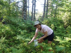 Picking wild blueberries