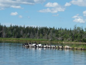 Loony Tunes - a local loon hangout