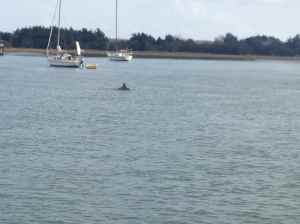 Every day we see dolphins at the Beaufort Town Dock