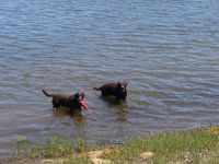 Two labs playing – seen on my bikeride