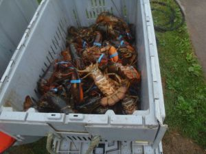 Shopping for lobsters right off the boat