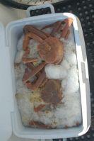 Snow Crabs!