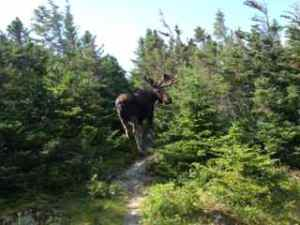 Moose in Norris Point, Newfoundland