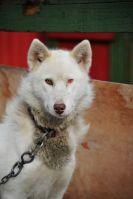 Aasiaat sled dog