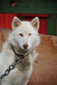 Aasiaat sled dog (photo by Steve D'Antonio)