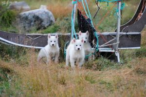 Sled dog pups in Christianshab (photo by Steve D'Antonio)