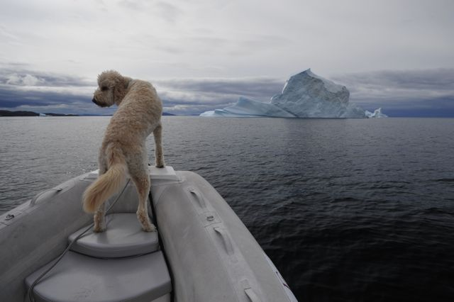 Gulliver off to see some bergs (photo by Steve D'Antonio)