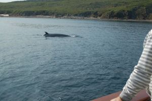 Minke Whale swims around the harbor at Torngat