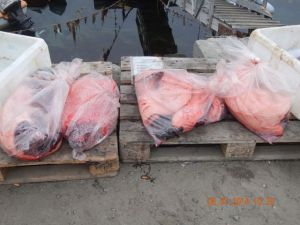 Seal carcasses on the dock