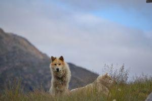 Sled dogs in Sisimuit