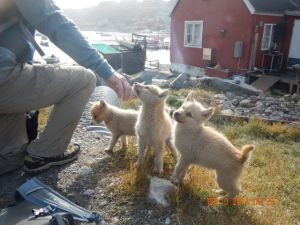 Bradley meets some future sled dogs