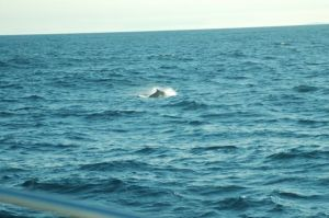 Whale on the way to  Williams Harbour