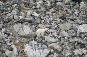 Polar Bear #2 poses