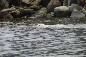 Head under water - looking for seals??