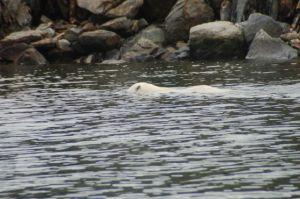 Head under water - looking for seals??