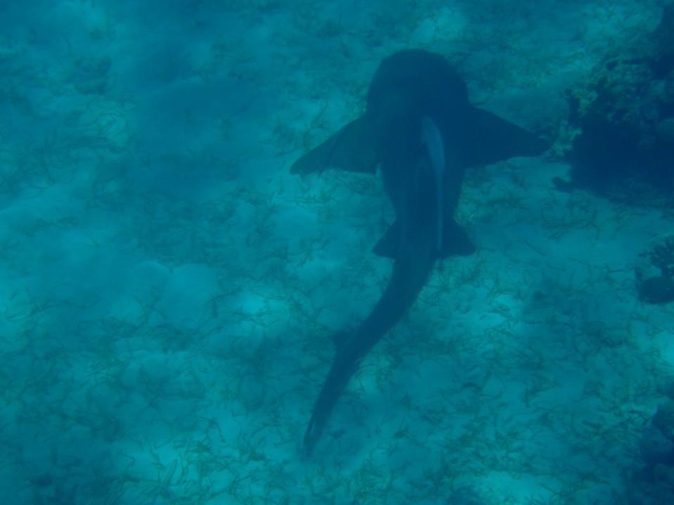 Sleeping shark at a reef