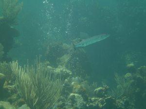 A barracuda stalks us