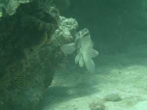 A big grouper watches us - he is safe as spearfishing can only be done snorkeling, not with SCUBA gear