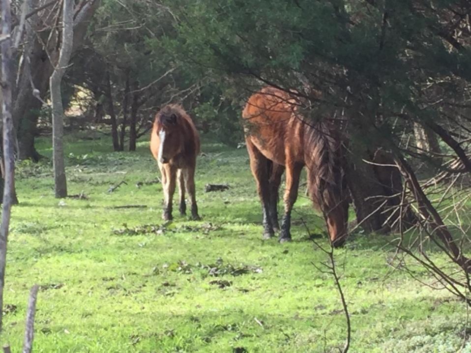 Beaufort wild horses