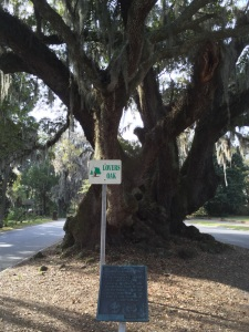 One of many beautiful Live Oak trees here